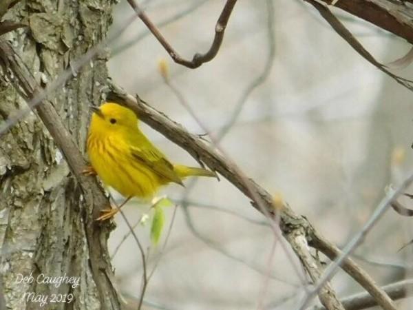 Yellow warbler   spring dance.  by Debbie Caughey
