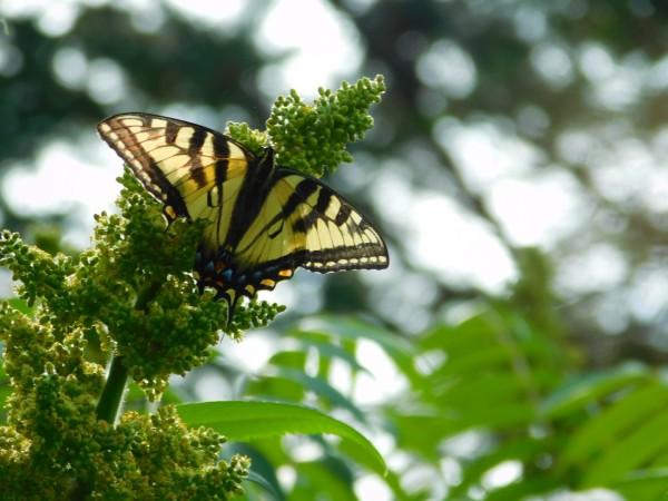 Tiger Swallowtail  by Debbie Caughey
