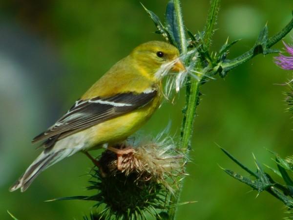 Goldfinch by Debbie Caughey