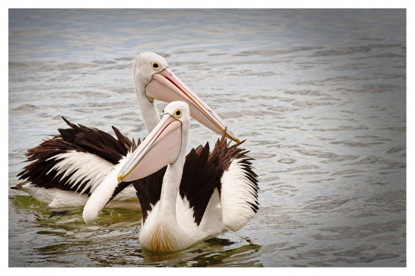 Pelicans in Love by EDO  KUIPERS