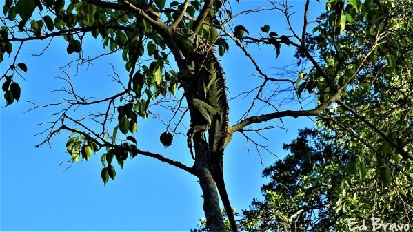 iguana by Ed Bravo