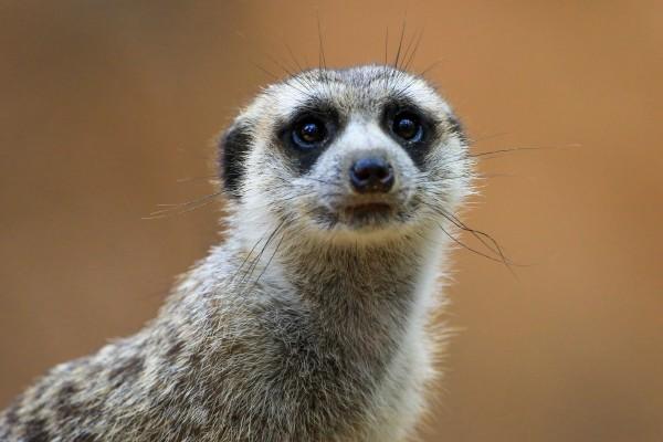 Meerkat by Edwin De Smet