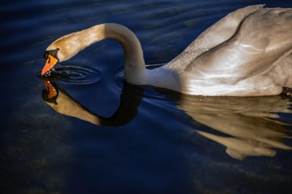 Swan by Elitephotos