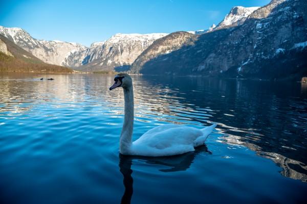 Mountain Swan by Elitephotos