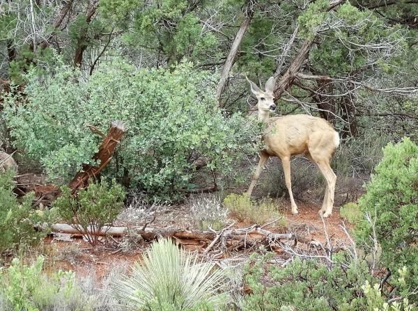 Mule Deer in Sedona by Emerson