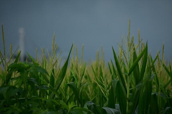Iowa Corn by Eric Schmitz