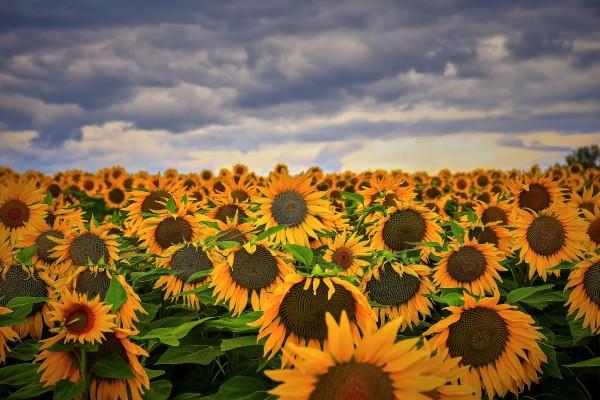 Sunflower by FarmStudioCo