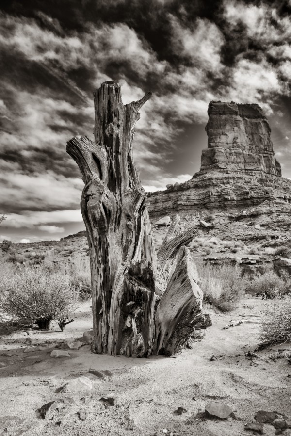Dry tree stump of Valley of the Gods Utah black and white by Francois Lariviere