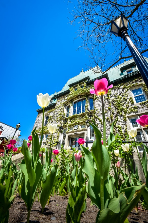 White and pink spring tulip in front of the Saint-Hyacinthe City Hall by Francois Lariviere