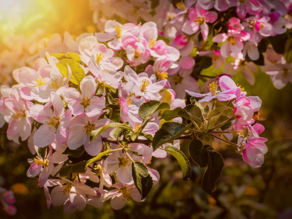 Pink apple blossoms under the spring sun by Francois Lariviere