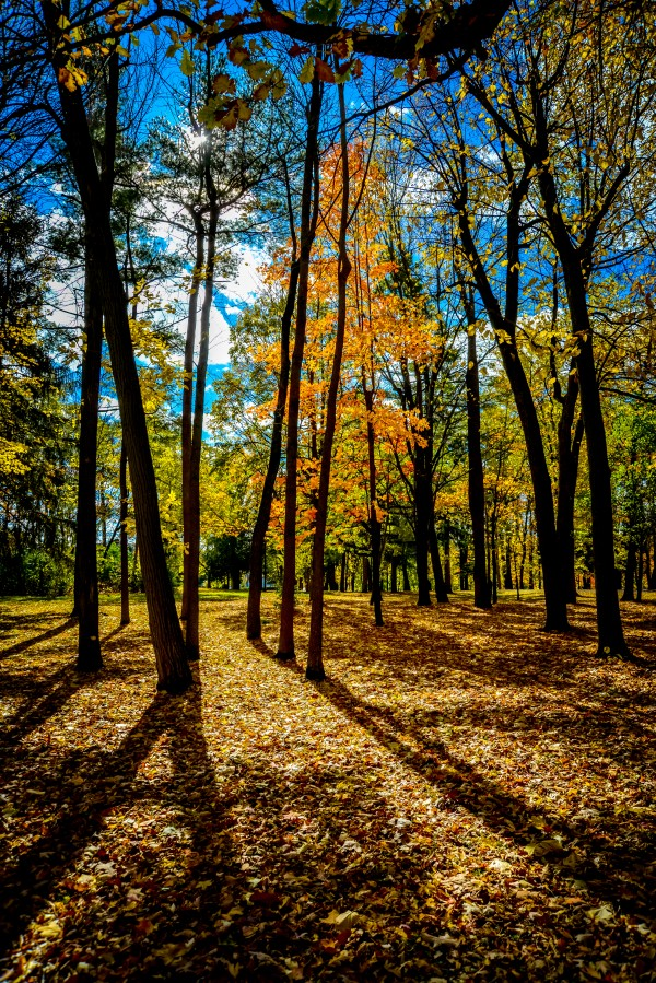 Backlight of red and yellow maple in fall in Quebec by Francois Lariviere