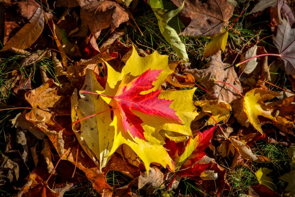 Red and yellow maple leaves in fall in Quebec by Francois Lariviere