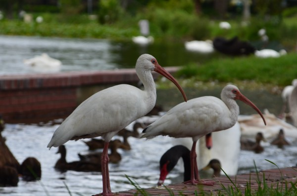 White Ibis by Frederick Missel
