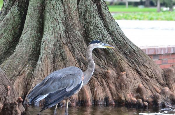 Blue Heron by Frederick Missel
