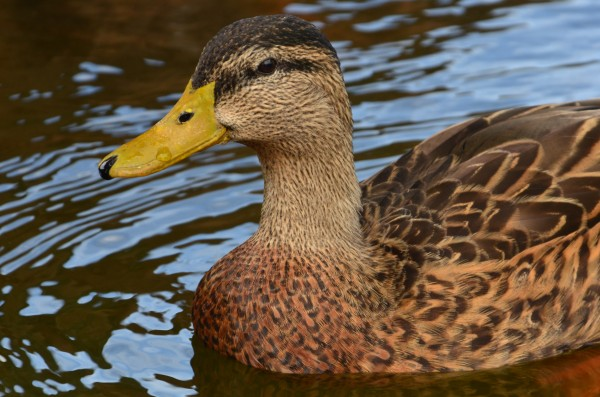 Majestic Duck by Frederick Missel
