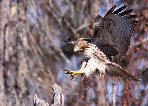 Red Tailed Hawk 4 by Guy Lichter