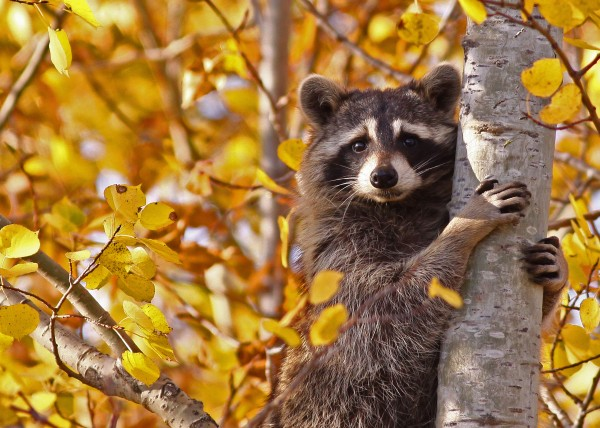 Fall Raccoon 15 by Guy Lichter