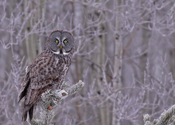 Great Gray Owl 17 by Guy Lichter