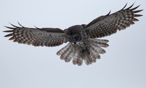 Great Gray Owl 48 by Guy Lichter