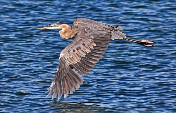 Great Blue Heron by HH Photography of Florida