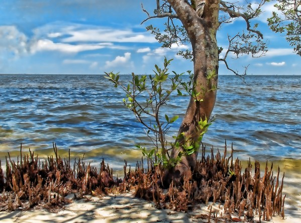 Seashore Mangrove by HH Photography of Florida