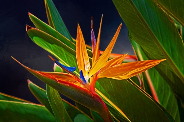 Bird Of Paradise by HH Photography of Florida