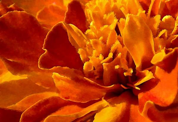 Marigold Macro by HH Photography of Florida