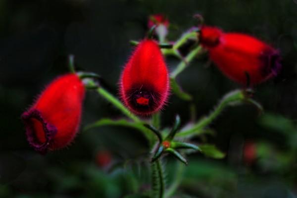 Seemannia Purpurascens by HH Photography of Florida
