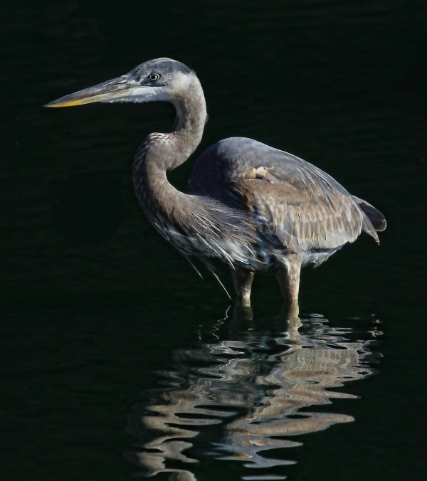 Great Blue Heron Wading by HH Photography of Florida