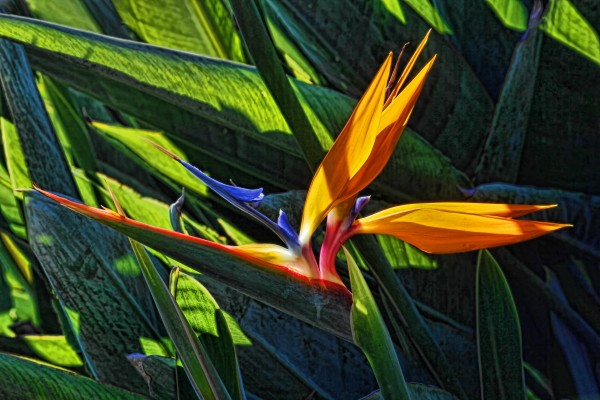 Sunlit Bird of Paradise by HH Photography of Florida