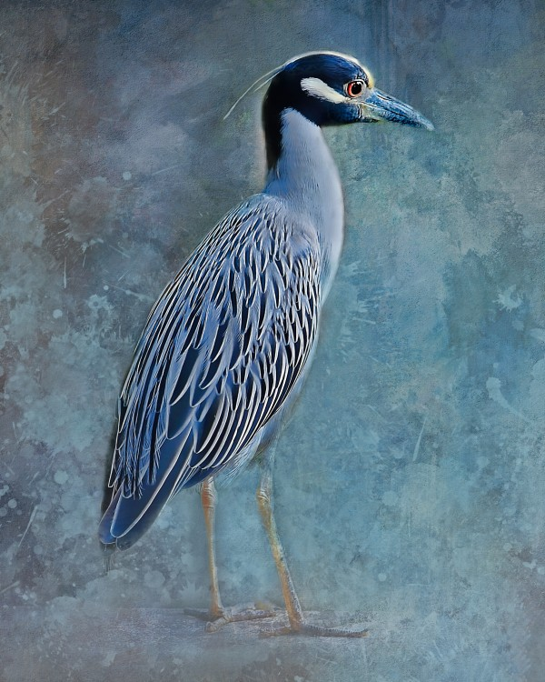 Night Heron Blues by HH Photography of Florida