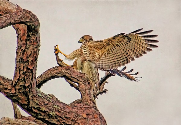 Red-shouldered Hawk Landing 2 by HH Photography of Florida