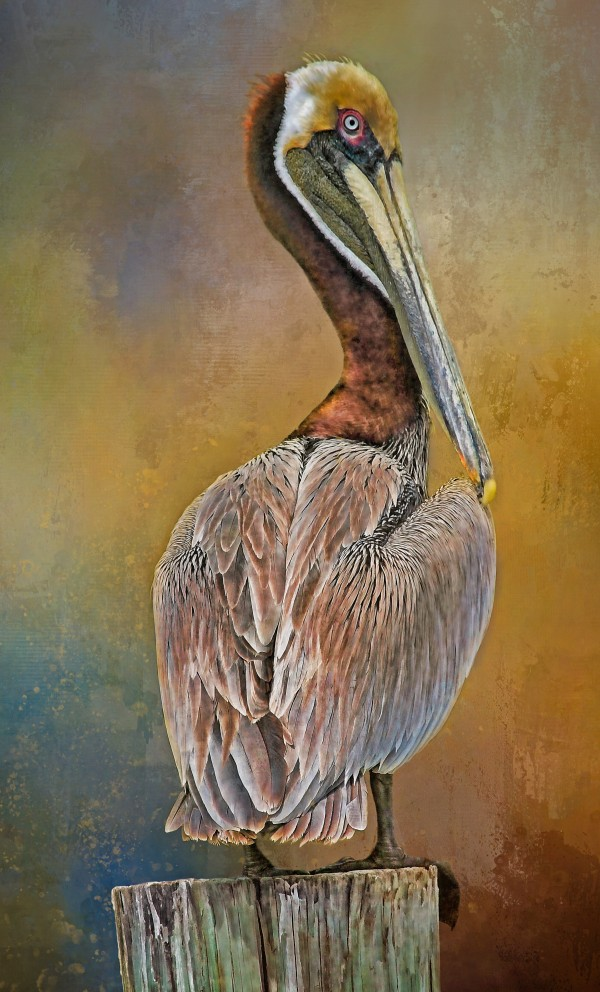Brown Pelican In Breeding Plumage by HH Photography of Florida