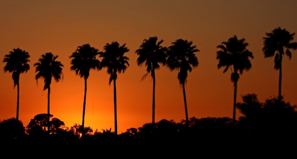 Sunset Palm Silhouettes by HH Photography of Florida