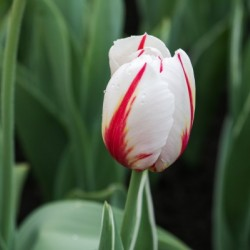 Red and White Tulip by Hydrogone Photography