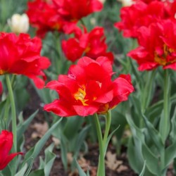 Red Tulips by Hydrogone Photography