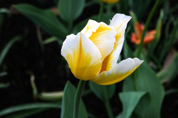 White and Yellow tulip by Hydrogone Photography