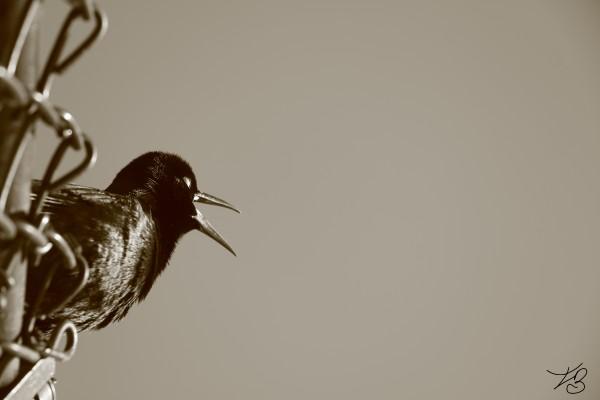 Black Bird  by IsabelVictoria