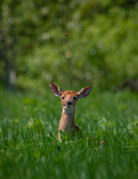 Fawn and the Bumblebee  by Jimmie Pedersen