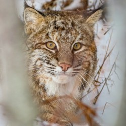 Bobcat by Jimmie Pedersen