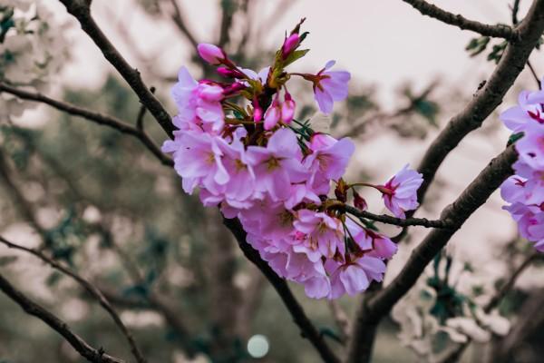 Cherry Blossom by Elitephotos