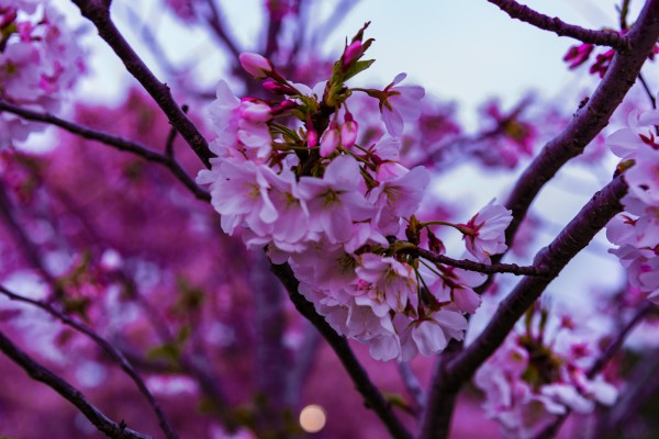 Cherry Blossoms  by Elitephotos