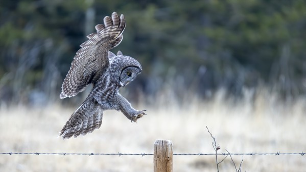 9293 - Great Grey Owl by Ken Anderson Photography