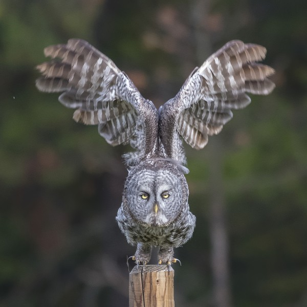 Great Grey Owl - Cleared for Take Off by Ken Anderson Photography