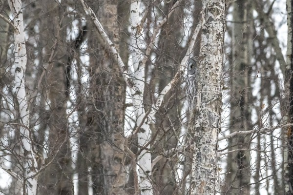Spot the Great Grey Owl by Ken Anderson Photography