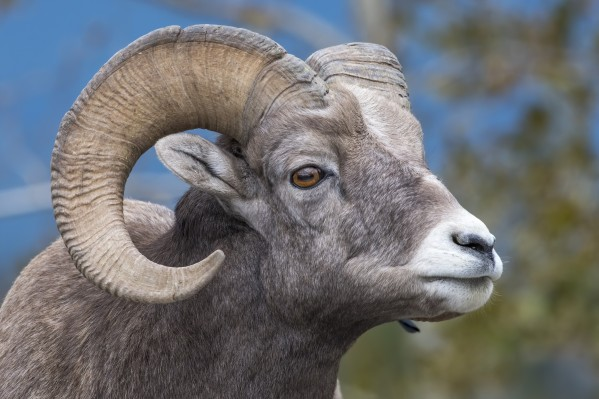 Big Horn Sheep - Portrait by Ken Anderson Photography