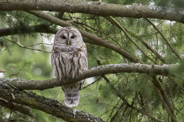 Barred Owl - Eye Contact by Ken Anderson Photography