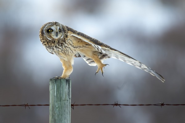 Short Eared Owl - Big Stretch by Ken Anderson Photography