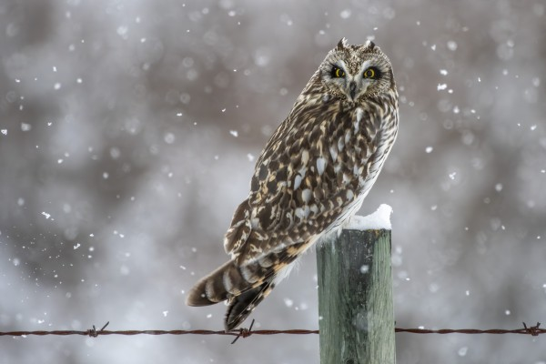 Short Eared Owl - Snow Storm by Ken Anderson Photography