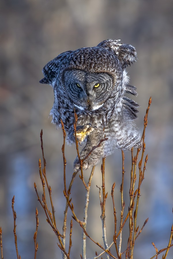 Great Grey Owl - Hanging on by Ken Anderson Photography